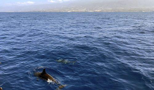 El Cabildo logra que el Estado paralice la concesión de licencias para la observación de cetáceos en la Isla