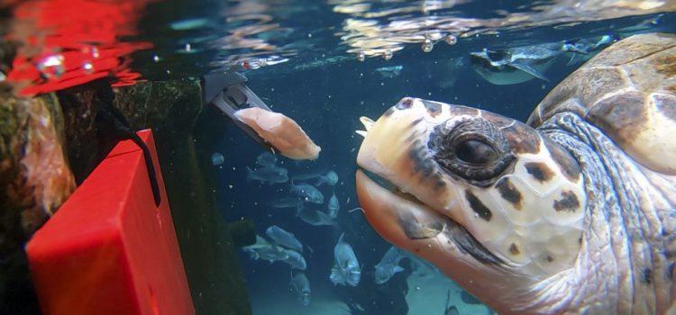 Loro Parque anuncia la adaptación de la tortuga rescatada en Italia con una grave lesión medular