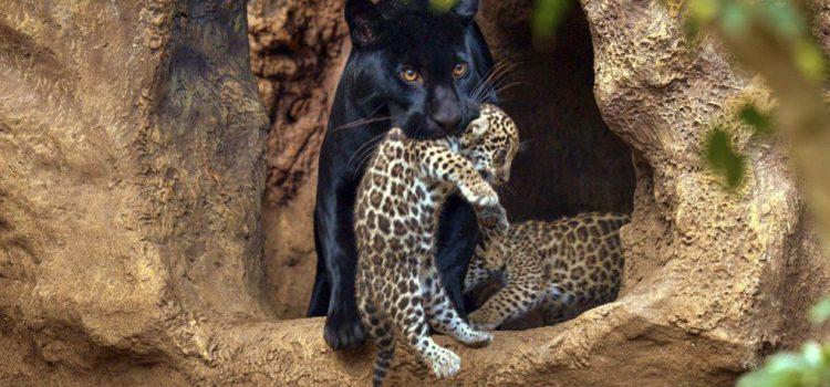 Loro Parque celebra su 47 aniversario con el nacimiento de dos mellizos de jaguar