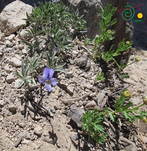 Violeta-del-Teide