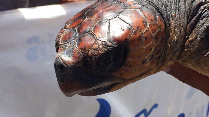 """La tortuga boba """"Viky"""" vuelve al mar en el compromiso con el Año Internacional del Turismo Sostenible"""