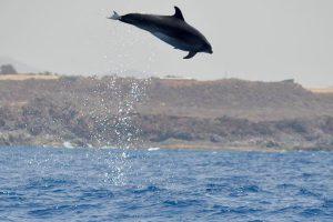 Delfin salto Tenerife