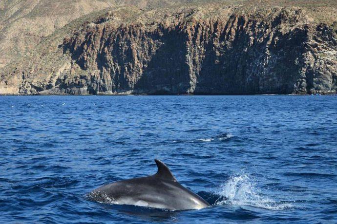 Los Gigantes Delfín Nadando