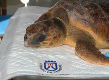 ¿Por qué se sueltan las tortugas rescatadas en el mar?